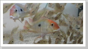 Geophagus red head